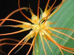 Saffron-yellow Bulbophyllum (Bulbophyllum croceum)