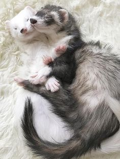 zwei Frettchen kuscheln You are in the right place about Cute animals sloth Here we offer you the most beautiful … Cute Little Animals, Cute Funny Animals, Cute Dogs, Cute Creatures, Beautiful Creatures, Animals Beautiful, Funny Ferrets, Funny Pets, Pet Ferret