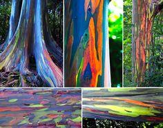 Quase inacreditável: o Rainbow Eucalyptus/Eucalipto Arco-íris, é uma árvore rara de tronco coloridíssimo, que cresce na floresta Maui, Hawaii.