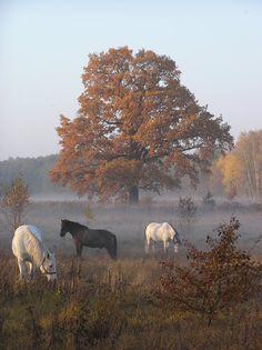 Konie na Dąbrowie-Poland