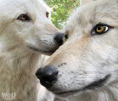 Polar Bear, Husky, Wild Photography, Wolfdog, Dogs, Wolves, Animals, Animales, Animaux
