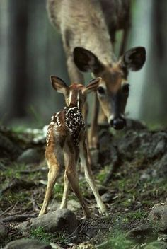 a doe and her baby deer..... or her dear baby