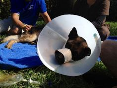 The Palm Beach Sheriff's Office said officials didn't expect the 5-year-old K-9, Drake, to survive the night. However, the dog's veterinarian, said Drake was doing much better Wednesday evening.A FL Highway Patrol trooper came home to find his house disheveled & Drake covered in blood. Troopers think Drake bit the burglars, who then shot him multiple  times to get away.Bullets went through his head, jaw and legs.  To donate to Drake's care call 561-439-3220 Simmons Vet Hospital.