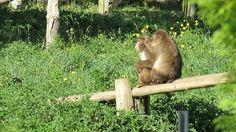 QC - Hemmingford - Parc Safari - 15 of 25 - Japanese Macaques - Grooming