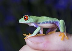 The pet frog by AngiWallace on deviantART