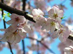 Cherry Blossom Festival in Washington, DC.