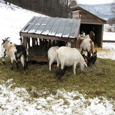 How to Care For Goats in the Winter #stepbystep