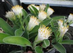 Bulbs of South Africa, Haemanthus, Veltheimia