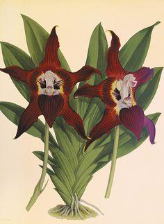 "Bildtafel Orchidee The Orchid Album London 1885 - Catherine Vadon: ""Mythos Orchideen"""