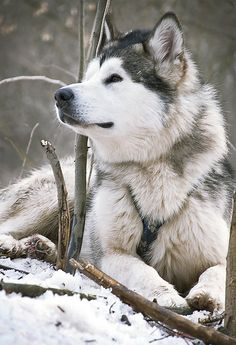 Alaskan Husky Dogs The wolf is my favorite animal.doesn't need a pack but loves the company and knows that together you can thrive best - A happy husky dog sitting in the snow. Husky Malamute, Alaskan Malamute, Husky Dog, Alaskan Husky, Wolf Husky, Pet Dogs, Dogs And Puppies, Dog Cat, Doggies