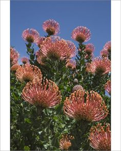 Inch Print - High quality print (other products available) - Pincushion protea (Leucospermum cordifolium), Kirstenbosch Botanical Gardens, Cape Town, South Africa, Africa - Image supplied by WorldInPrint - Photo Print made in the USA Fine Art Prints, Framed Prints, Canvas Prints, Australian Flowers, Gnome Garden, Garden Pool, Garden Spaces, Cape Town, Pin Cushions