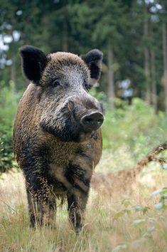 Wildschweinkeiler beobachtet aufmerksam den Fotografen - (Schwarzkittel - Wildschwein), Sus scrofa, Wild Boar tusker observing alert the photographer - (Wild Boar - Feral Pig)