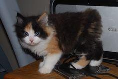 ♥CG♥ 103 Manx Kitten