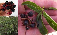 Lolly Bush Clerodendrum Floribundum Seeds