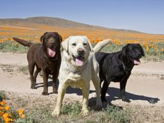 Labs...one of each please!