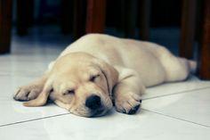 Sleeping  #puppy #labs