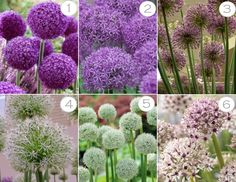 Plant ID – Alliums -- Click through for examples, plus planting tips and bulb information.