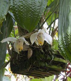 Orchids, Stanhopea tricornis
