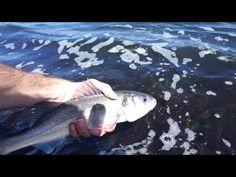 The European Stripeless Bass. European Seabass Fishing - (More info on: https://1-W-W.COM/fishing/the-european-stripeless-bass-european-seabass-fishing/)