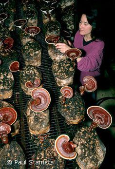 Reishi: Mushrooms of Immortality. Highly prized in Chinese medicine, this mushroom is now the subject of many medical studies.