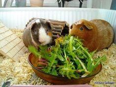 Food for Guinea pigs. GUINEA PIG WEB SITE....World of Guinea Pigs