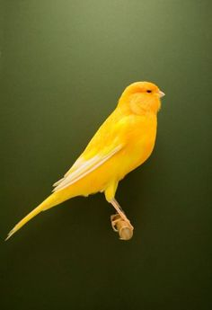 Canary #3, from the series The Incomplete Dictionary of Show Birds, 2009 Luke Stevenson