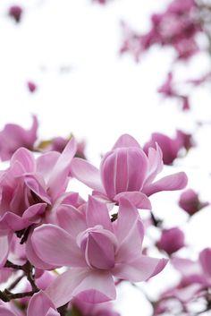Magnolia sprengeri var. diva 'Copeland Court'. Photo by Rachel Warne, Gardens Illustrated
