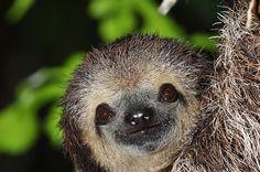 Bicho preguiça sorrindo