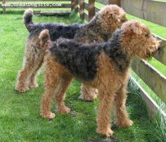 scruffy, ungroomed Airedales!