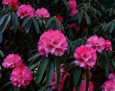 Rhododendron arboreum | Rhododendron arboreum, Dundee Botani… | Flickr