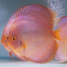 Photo gallery of Discus fish - Live Tropical Fish - Live Tropical Fish Discus Aquarium, Discus Fish, Aquarium Fish Tank, Aquariums, Tropical Freshwater Fish, Freshwater Aquarium Fish, Tropical Fish, Colorful Fish, Rare Fish