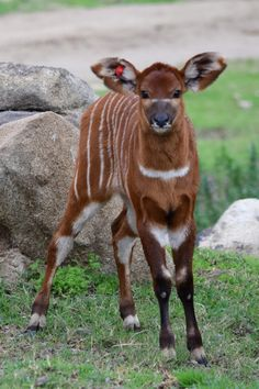 Baby #bongo born at the San Diego Zoo Safari Park. Bongos are one of the largest African antelope species.
