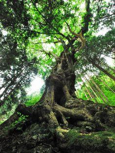 山梨県の巨木 倉岳山のトチノキ