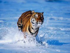 Tigre de bengala en el agua
