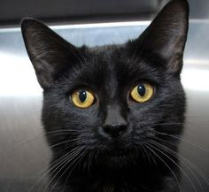 Gleam is an adoptable Domestic Short Hair-Black Cat in New Haven, CT. Gleam. NO APPOINTMENTS NEEDED. IF YOU ARE INTERESTED IN ADOPTING THIS PET PLEASE VISIT THE SHELTER MONDAY - SATURDAY 12:30 - 4:30 ...