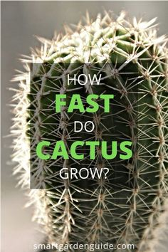 How fast do cactus grow? This article will explain how fast cacti grow and how large they get. I also share my top tips for growing cacti. Cactus Care, Cactus Flower, Flower Pots, Flowers, Home Design, Catus Plants, How To Grow Cactus, Kitchen Plants, Prickly Pear Cactus