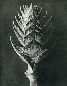 Karl Blossfeldt - Wunder In Der Natur 1942 Gravure - Salvia Pratensis Karl Blossfeldt, Meadow Sage, Parts Of A Plant, Salvia, Natural Forms, Art Plastique, Botanical Art, Botanical Drawings, Illustrations