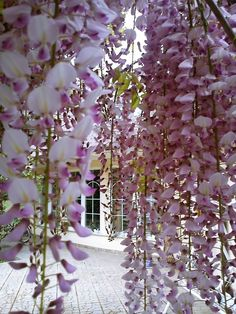 Wisteria, almost looks like it is covered with snow.. so pretty
