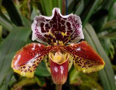 Frauenschuh- Orchidee von Michaela Sennhauser