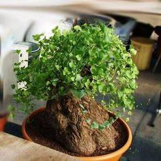Dioscorea hemicrypta