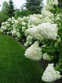 hedge of limelight hydrangeas