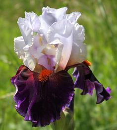 TB Iris germanica 'Sharpshooter' (Keppel, 2000)