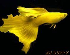 Yellow Fancy Guppy | guppy é uma obra de arte da natureza que foi retocada pela mão do ...