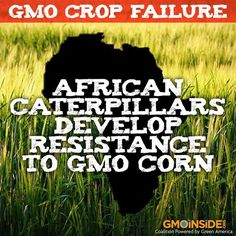 African Caterpillars Develop Resistance To GMO Corn. More Here: http://planetsave.com/2013/09/26/gmo-crop-failure-african-caterpillars-develop-resistance-gmo-corn/#IYBH4bTyCDkWxGlc.99
