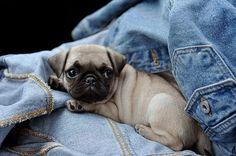 #pug #puppy #animals