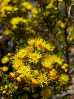 Verticordia acerosa is a woody shrub found in Western Australia. It occurs in the alluvial soils of the Swan Coastal Plain, the Darling Range and along watercourses. Yellow flowers in winter to spring