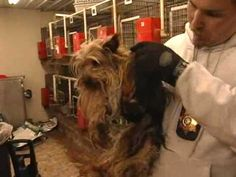 More than 90 Yorkies were rescued by the Humane Society of Missouri in 2009. The case received so much attention, we were invited to speak about the rescue on the Oprah Show.
