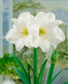 An Amaryllis to bloom in time for the new years (order 6 to 8 weeks in advance of new year's day)