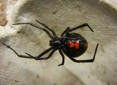 The black widow and the brown recluse are the only two poisonous spiders in North Carolina. Female Black Widow, Black Widow Spider, Brown Recluse Spider, Wolf Spider, Spiderman, Spider Bites, Veneno, Bugs And Insects, Mundo Animal