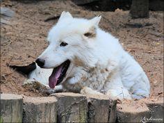 Photos Loups Arctiques du Zoo de la Flèche